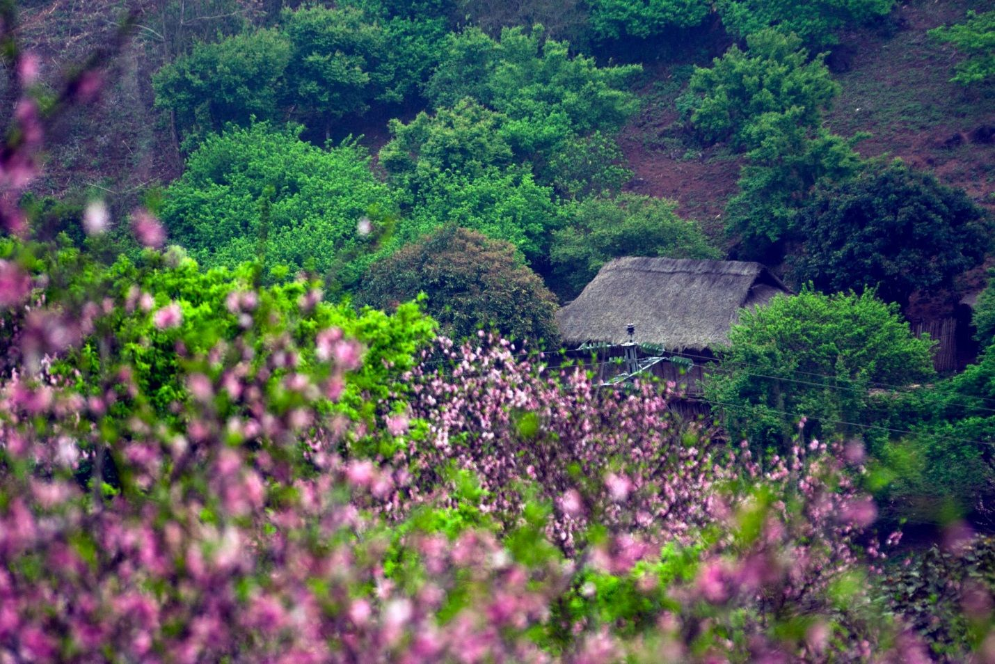 Mùa xuân với 4 loài hoa đẹp ở Mộc Châu
