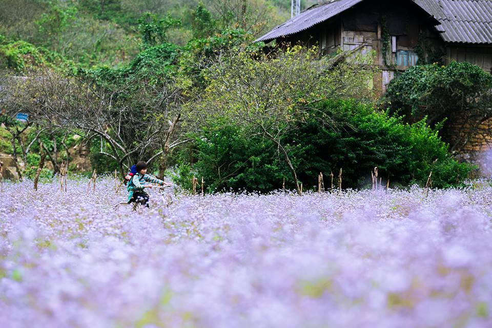 Đứng ngồi không yên với những mùa hoa đẹp ở Mộc Châu