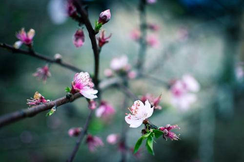 """""""Lạc lối"""" giữa thiên đường hoa đào, hoa mận Mộc Châu"""