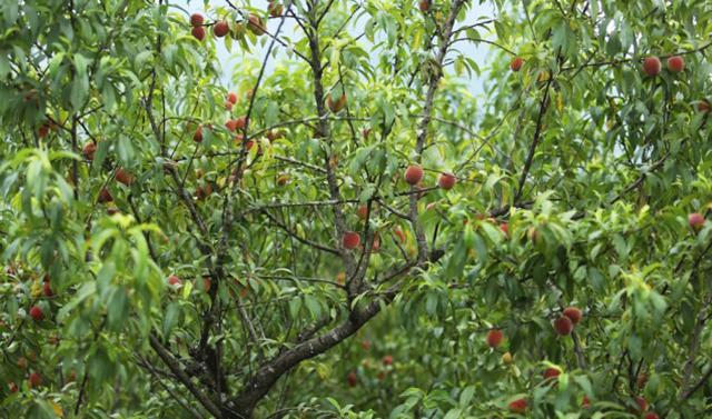 Du lịch Mộc Châu tháng 5, tháng 6: Tự tay hái quả