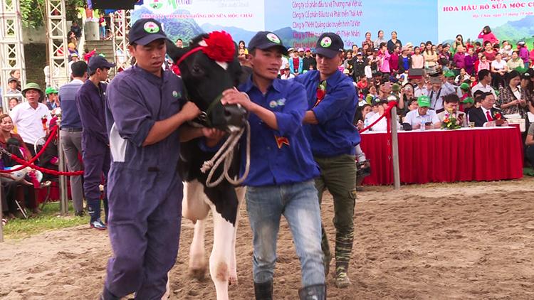 Hoa hậu bò sữa Mộc Châu 2017   Nét đẹp văn hóa trên cao nguyên