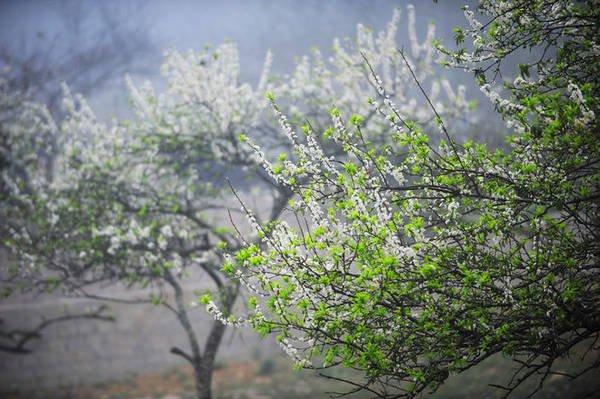 Mùa hoa mận Mộc Châu đang nở trắng trời rồi, xách ba lô lên thôi !