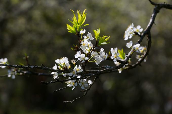 Hoa đào, hoa mận Mộc Châu khoe sắc khi xuân về