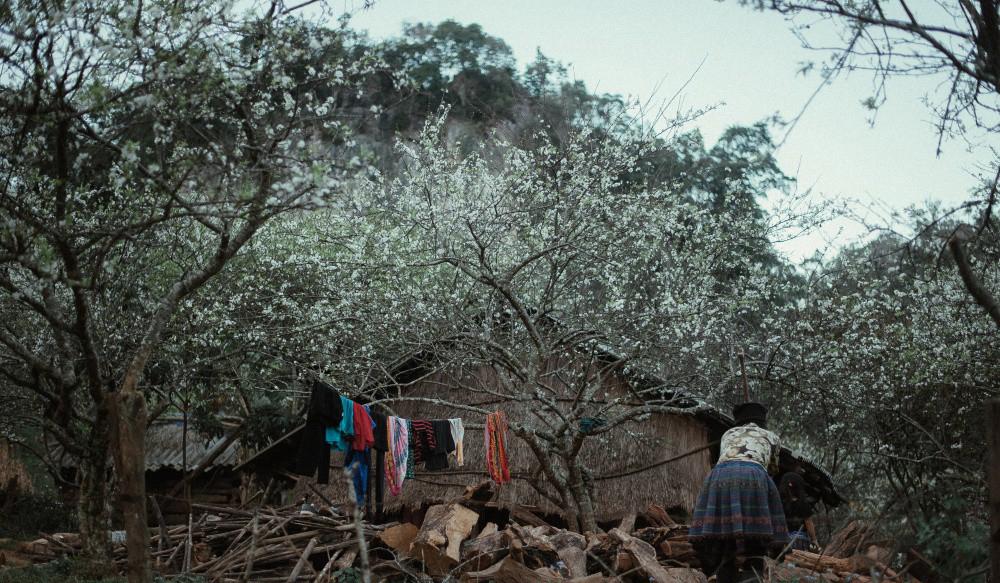 Vẻ đẹp mê mẩn của hoa mận Mộc Châu những ngày cận Tết