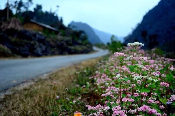 Hoa tam giác mạch Mộc Châu   Rực rỡ trên cao nguyên lộng gió