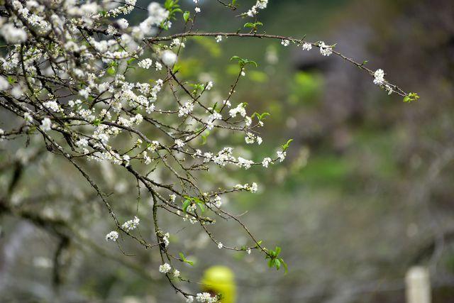 Thung lũng hoa mận Mộc Châu bung nở trước Tết Nguyên đán