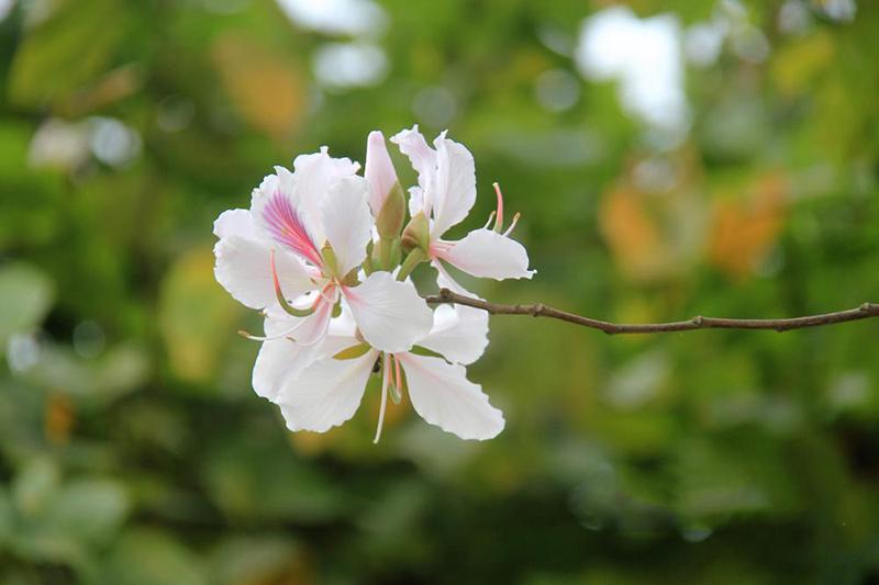 Tháng 3 đến Mộc Châu thưởng thức hoa ban Tây Bắc