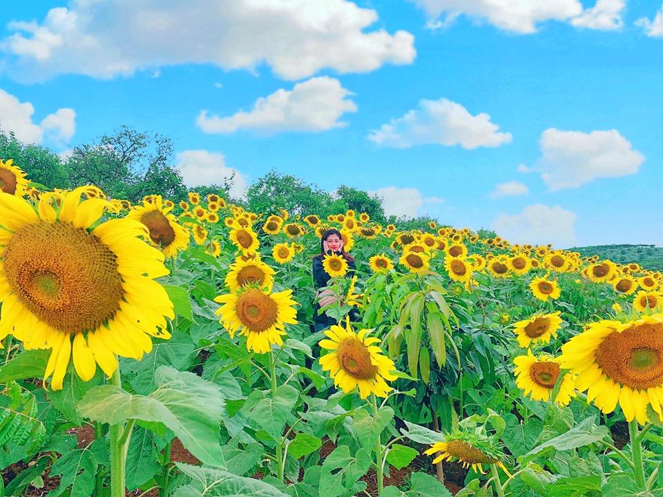 Lạc vào đồi hoa hướng dương ảo diệu ngay tại thị trấn Nông Trường Mộc Châu