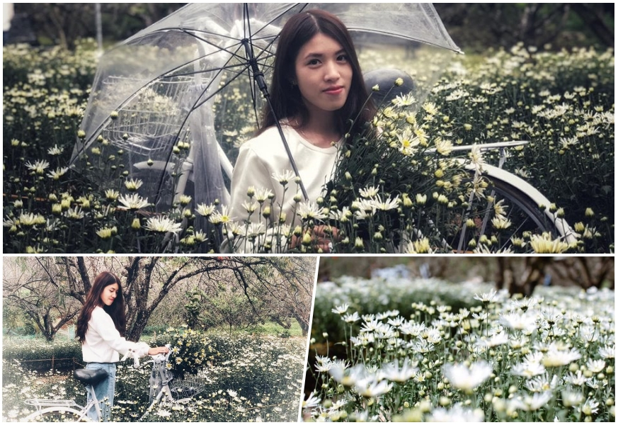 cuc hoa mi moc chau3 Cúc hoạ mi khoe sắc tinh khôi trên Cao nguyên Mộc Châu